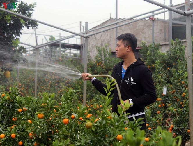 bonsai kumquat trees of tu lien village attracts customers hinh 4