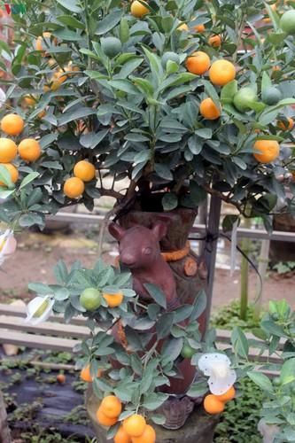 bonsai kumquat trees of tu lien village attracts customers hinh 6