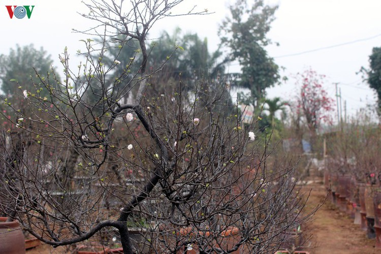 white apricot trees sought by choosy customers ahead of tet hinh 2