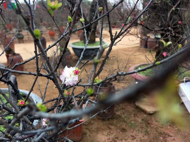 white apricot trees sought by choosy customers ahead of tet hinh 7
