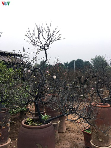 white apricot trees sought by choosy customers ahead of tet hinh 9