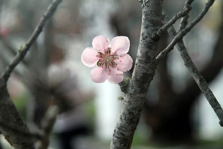 hanoi's streets flooded by wild peach blossoms as tet approaches hinh 15