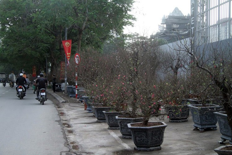 hanoi's streets flooded by wild peach blossoms as tet approaches hinh 1