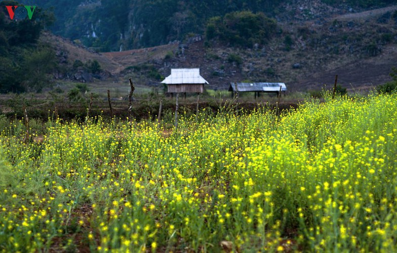 tourists descend on moc chau to enjoy colourful flowers hinh 5