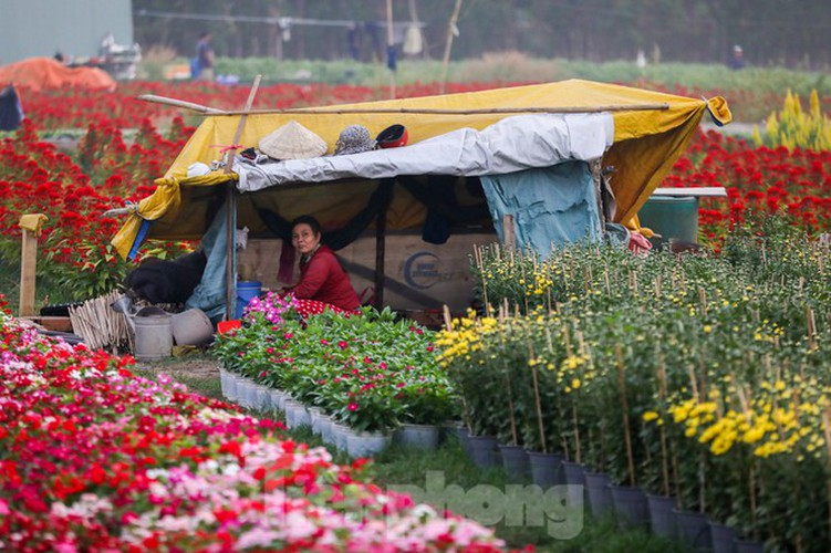 tet preparations underway for gardeners in hcm city's flower village hinh 10