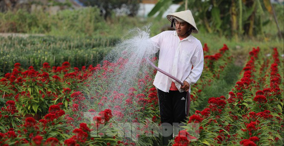 tet preparations underway for gardeners in hcm city's flower village hinh 2
