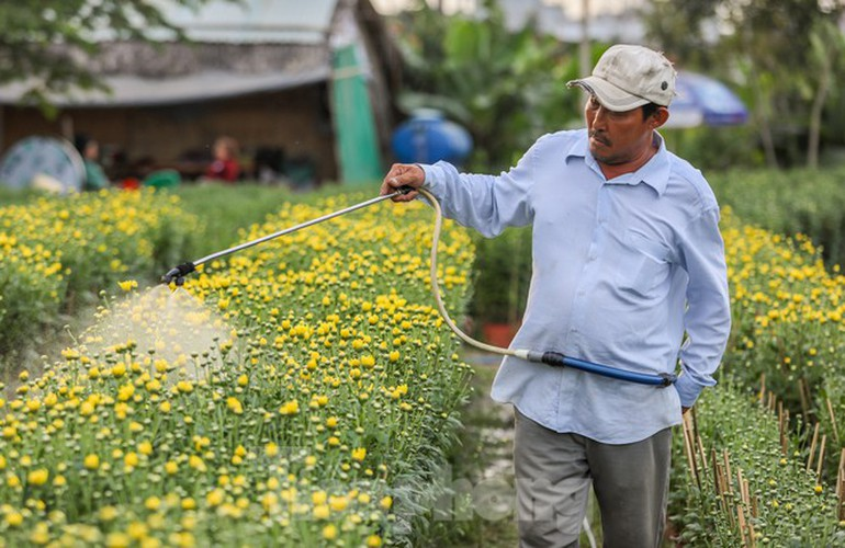 tet preparations underway for gardeners in hcm city's flower village hinh 3