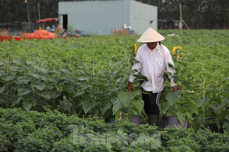 tet preparations underway for gardeners in hcm city's flower village hinh 4