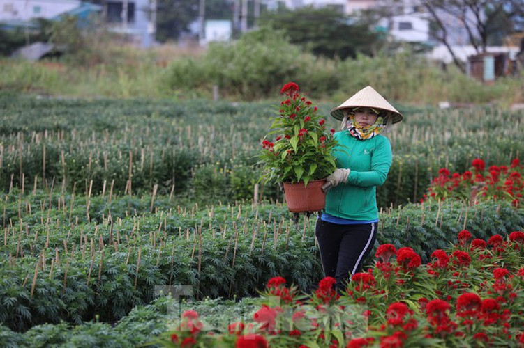 tet preparations underway for gardeners in hcm city's flower village hinh 5