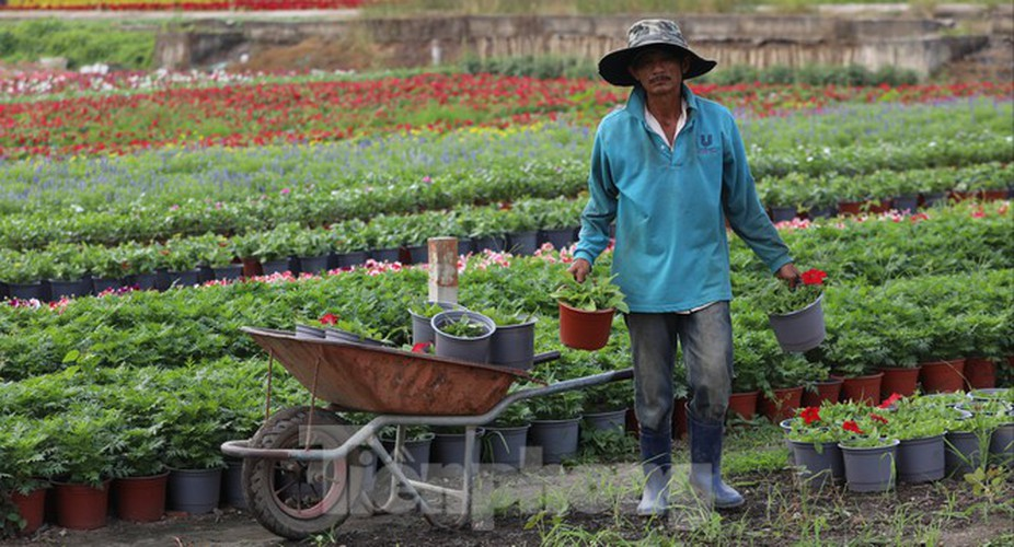 tet preparations underway for gardeners in hcm city's flower village hinh 8