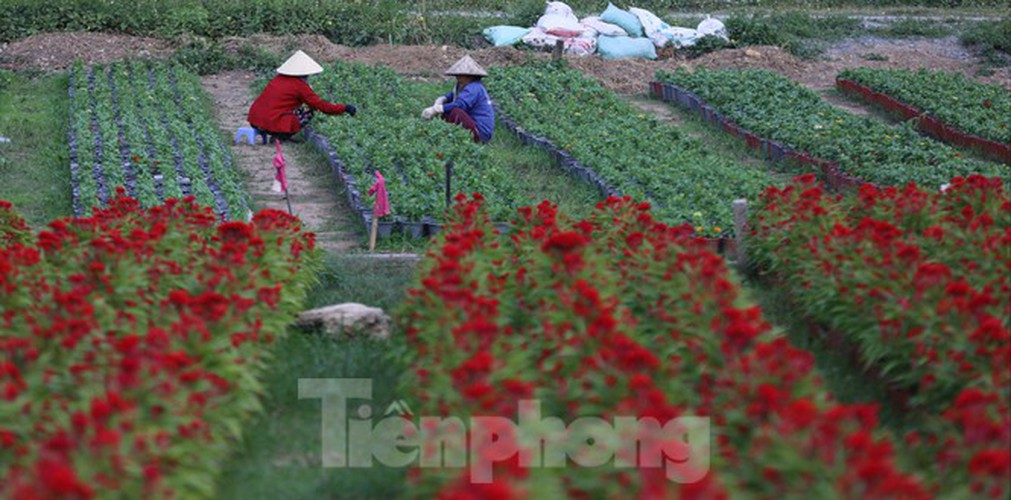 tet preparations underway for gardeners in hcm city's flower village hinh 9