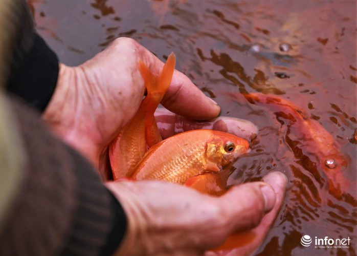 business booms in red carp farming village ahead of kitchen gods day hinh 11