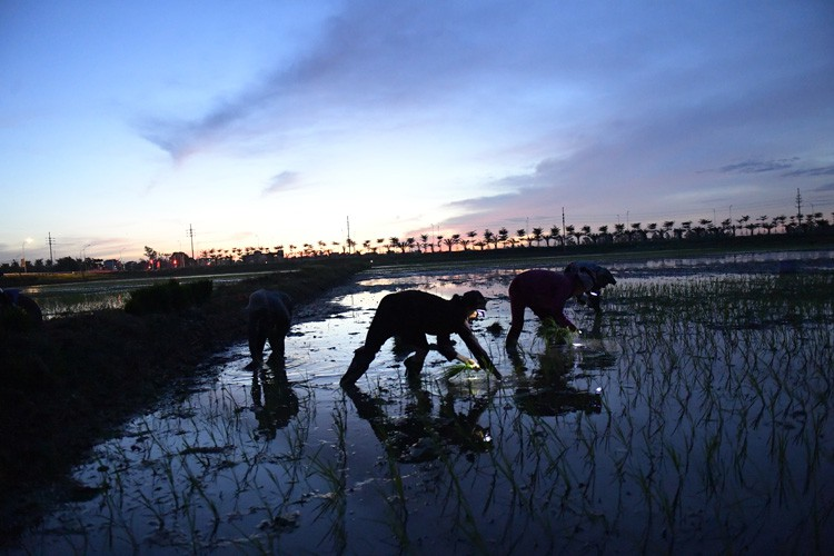 farmers sow rice at night to avoid extreme heat in hanoi hinh 2