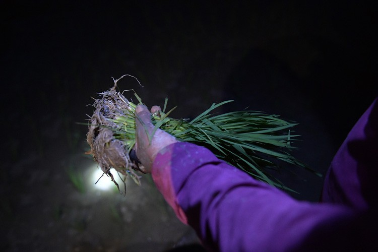 farmers sow rice at night to avoid extreme heat in hanoi hinh 3