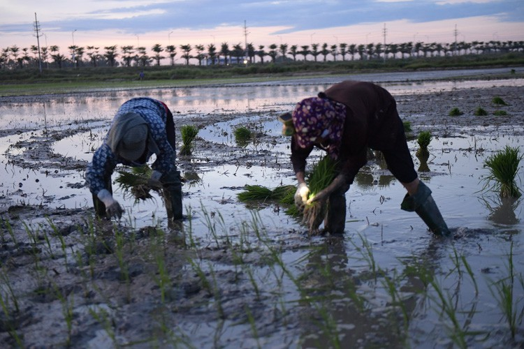farmers sow rice at night to avoid extreme heat in hanoi hinh 6
