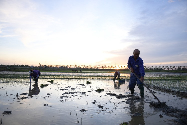 farmers sow rice at night to avoid extreme heat in hanoi hinh 7