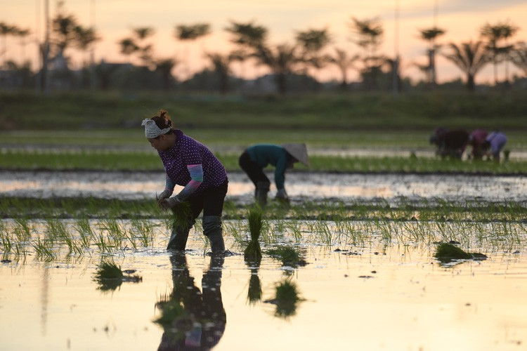 farmers sow rice at night to avoid extreme heat in hanoi hinh 8