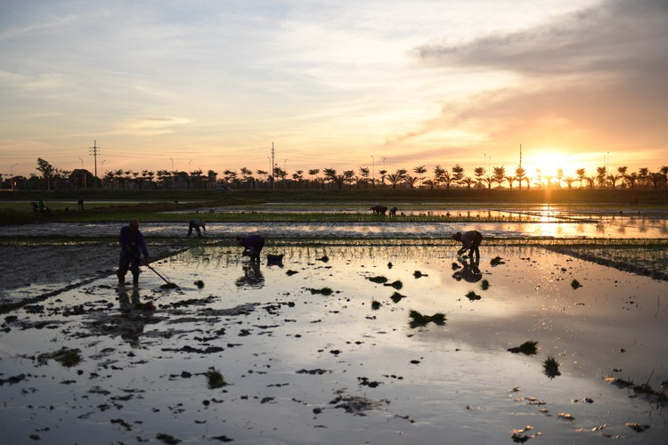farmers sow rice at night to avoid extreme heat in hanoi hinh 9