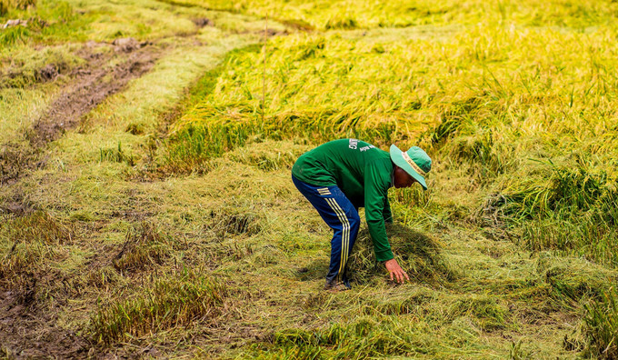 beautiful images of the ripening rice fields of an giang hinh 4