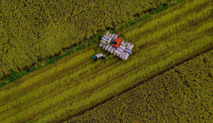 beautiful images of the ripening rice fields of an giang hinh 7