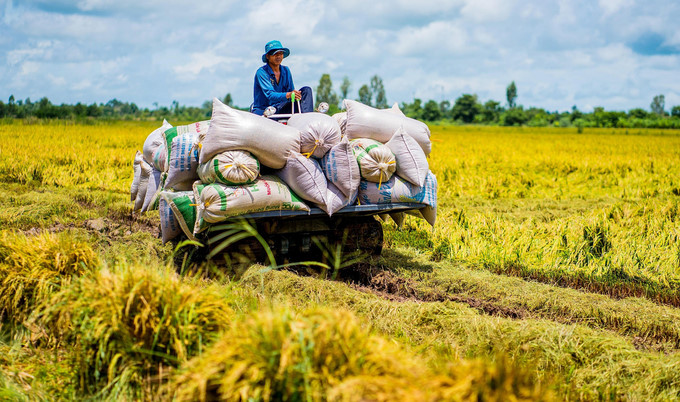 beautiful images of the ripening rice fields of an giang hinh 8