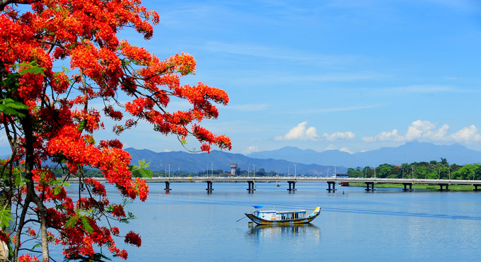 flamboyant flowers leave streets of hue awash with red hinh 1