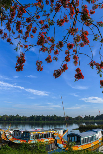 flamboyant flowers leave streets of hue awash with red hinh 2