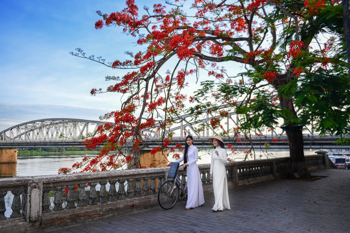 flamboyant flowers leave streets of hue awash with red hinh 3