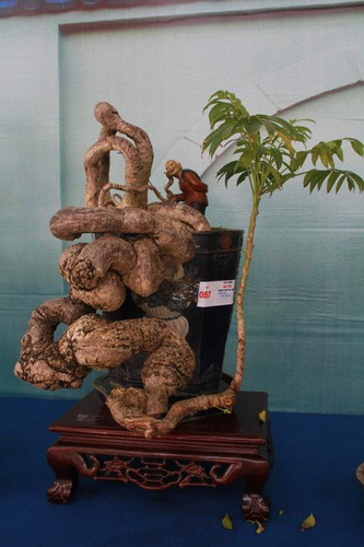 thousands of bonsai go on show at asia-pacific exhibition hinh 12