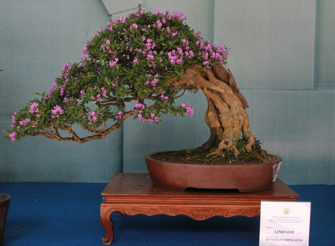 thousands of bonsai go on show at asia-pacific exhibition hinh 13