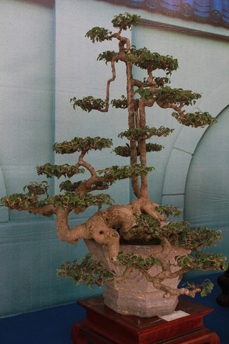 thousands of bonsai go on show at asia-pacific exhibition hinh 14