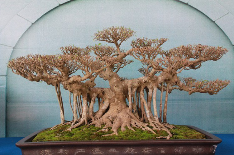 thousands of bonsai go on show at asia-pacific exhibition hinh 15