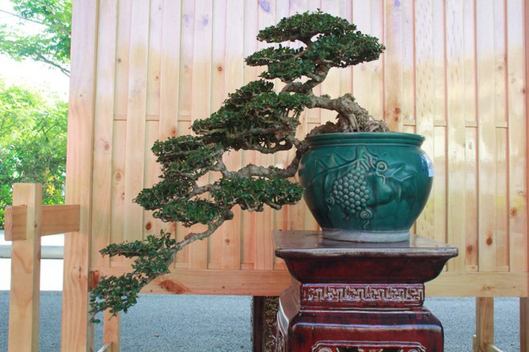 thousands of bonsai go on show at asia-pacific exhibition hinh 16