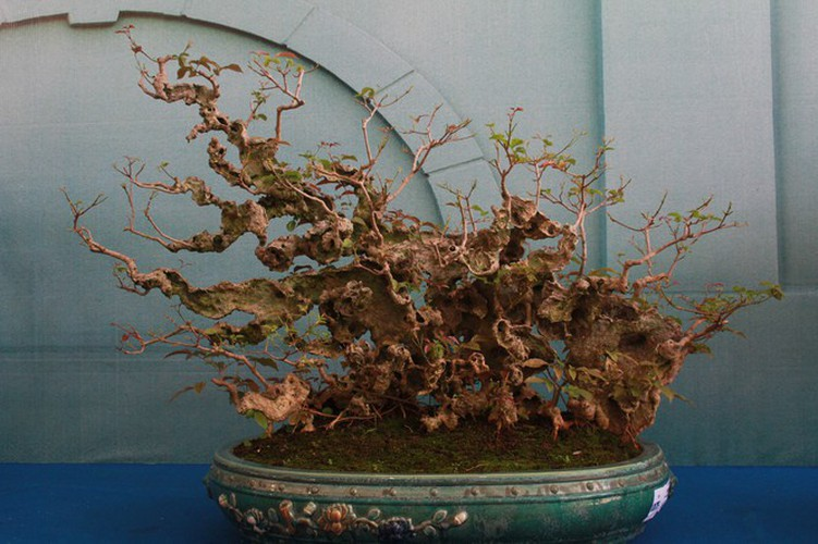 thousands of bonsai go on show at asia-pacific exhibition hinh 17