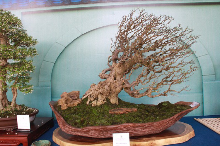 thousands of bonsai go on show at asia-pacific exhibition hinh 18
