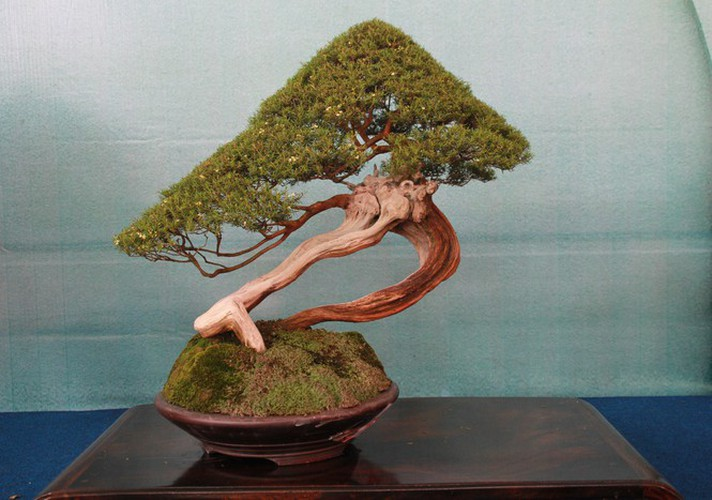 thousands of bonsai go on show at asia-pacific exhibition hinh 20