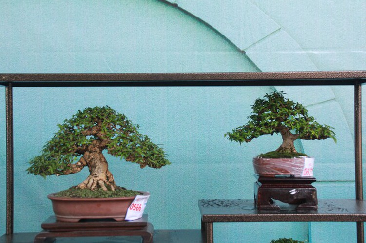 thousands of bonsai go on show at asia-pacific exhibition hinh 21