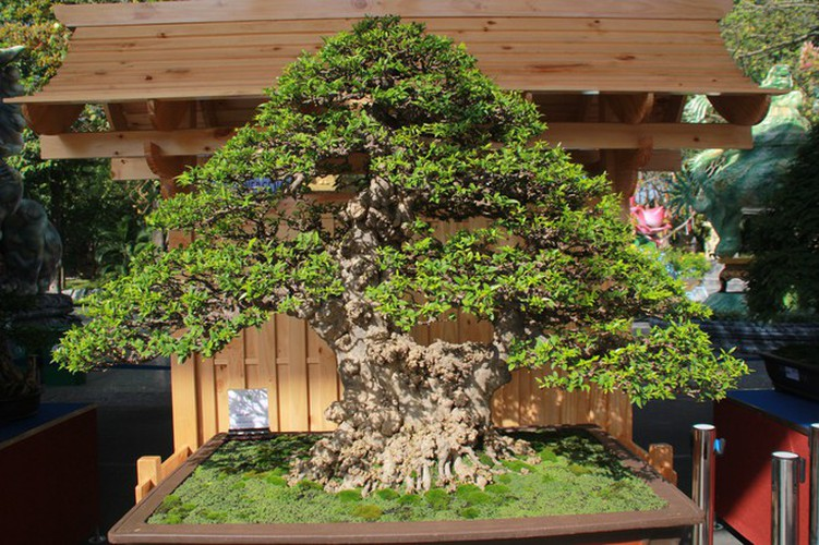 thousands of bonsai go on show at asia-pacific exhibition hinh 5