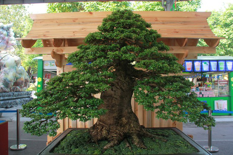 thousands of bonsai go on show at asia-pacific exhibition hinh 6