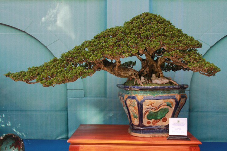 thousands of bonsai go on show at asia-pacific exhibition hinh 7