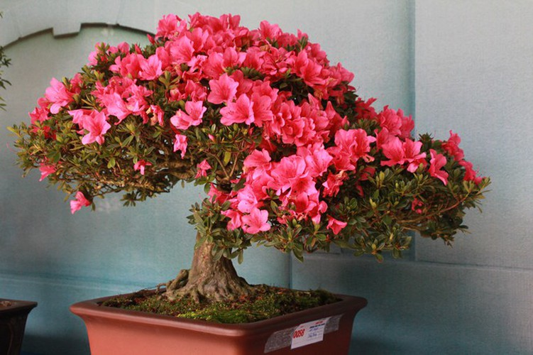 thousands of bonsai go on show at asia-pacific exhibition hinh 9