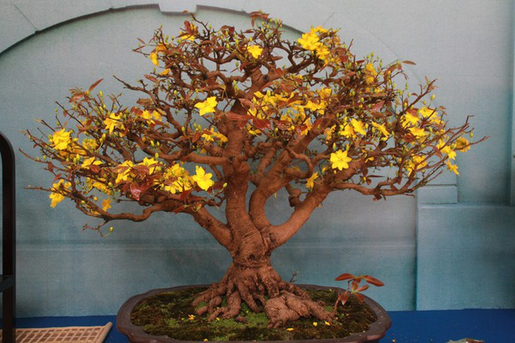 thousands of bonsai go on show at asia-pacific exhibition hinh 10
