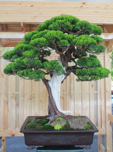 thousands of bonsai go on show at asia-pacific exhibition hinh 11