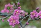 Stunning gemstone peach tree goes on sale in Hanoi ahead of Tet