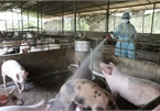 Vietnam, France partner in producing vaccines against livestock diseases