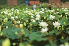 Charming white lotus flowers spotted in bloom on outskirts of Hanoi