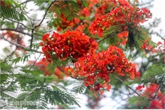 Red flamboyant flowers in full bloom in capital