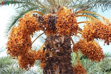 Biggest date palm garden in the Vietnam's southwestern region