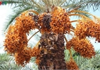 Biggest date palm garden in the Vietnam's southwestern region