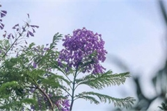 Hanoi dotted with Da Lat purple phoenix flowers